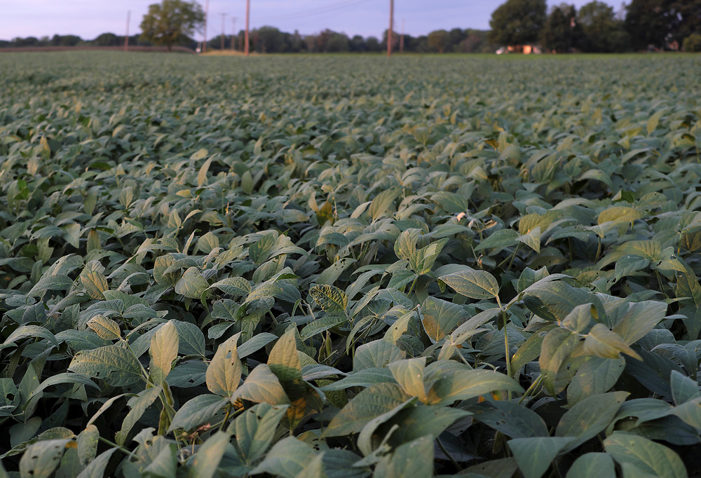 A field of soy crops is seen Sept. 19, 2018, before the upcoming harvest in Chesterfield, New Jersey.