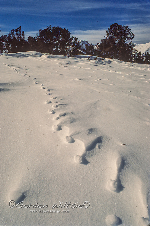 Coyote tracks linger in the snow in Kings Canyon National Park, CA