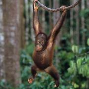 Orangutan, (Pongo pygmaeus) Juvenile hanging from vine in rain forest. Malaysia. Controlled Conditons.