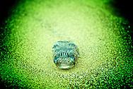 A dead balloon fish.