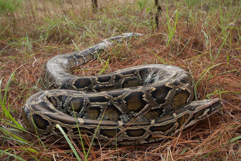 Invasive species for Everglades exhibit. Florida Museum of Natural History in Gainesville, Florida.