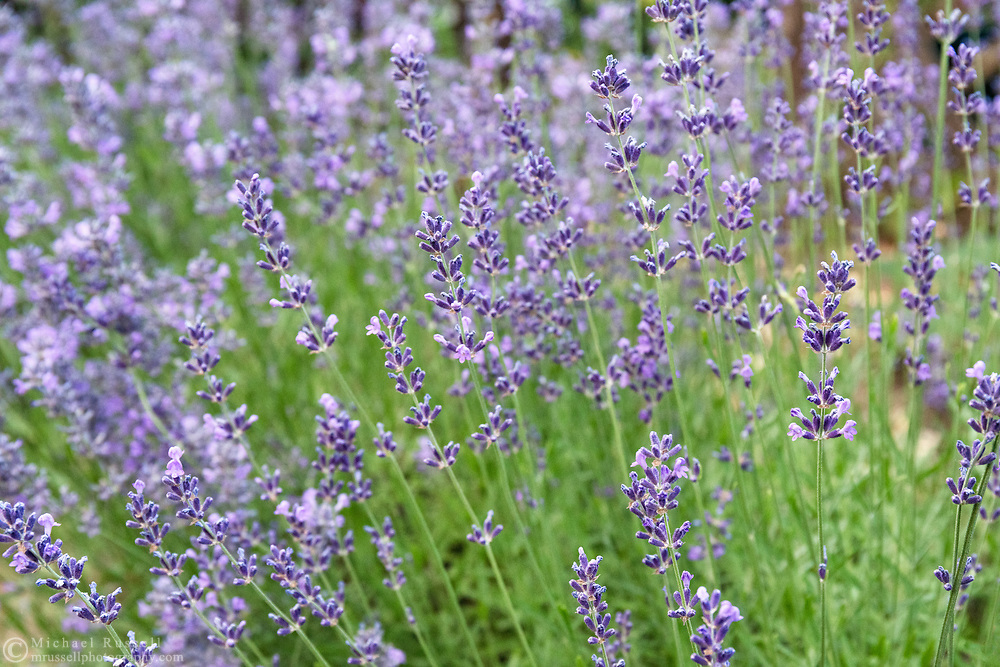 Blooming Lavender in a Fraser Valley Garden.  This lavender is popular with nectar eating insects such as a wide variety of bee species and butterflies.