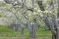 Fruit Trees in spring bloom, Wenatchee Valley Washington USA