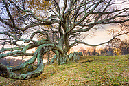 A gnarled tree rests on a hillside near the Blue Ridge Parkway in Floyd, Virginia.