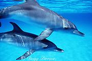 juvenile Atlantic spotted dolphins, Stenella frontalis, White Sand Ridge, Little Bahama Bank, Bahamas ( Western North Atlantic Ocean )