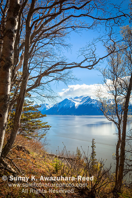 Snow capped Kenai Mountains and Turnagain Arm of Cook Inlet viewed through birch woods, Chugach State Park, Southcentral Alaska, Spring. Vertical image.
