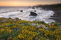 Wildflowers on bluff edge at twilight, Sonoma Coast State Park, California