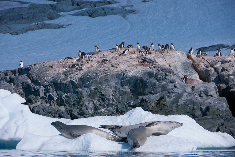 Leopard seals on an ice flow near Petermann Island, home to the southernmost breeding colony of gentoo penguins, located below the Lemaire channel, near the Antarctic peninsula