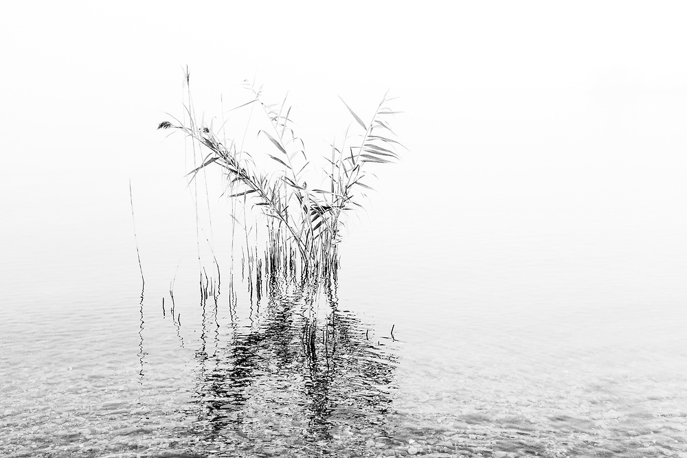 I am an opportunistic photographer and will make photographs at every opportunity. The trick is to always have a camera with you on any excursion, whether you are with family or on a fully dedicated photography trip. This photograph was made in Owen Sound on a family outing. I arouse early and took a walk in a hot foggy morning along the Owen Sound harbour. I liked this hi key exposure of a Phragmites plant, even though I hate the plant because of it's non native origins and it's detrimental aspects to our wetlands. However, as far as a photograph goes I really like the way the plant structure is brought out by the blown out or foggy background and the foreground reflection and water detail is retained.