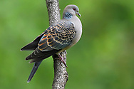 Oriental Turtle Dove, Streptopelia chinensis, sitting on a branch in Yangxian Biosphere Reserve, Shaanxi, China