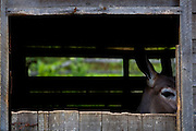 Conceicao do Castelo_ES, Brasil...Cocheira com burros e jumentos ao lado rota Imperial...Donkeys in the stable next to Imperial route...Foto: LEO DRUMOND / NITRO
