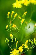 Euroasia yellow wild flowers. Photographed in Armenia