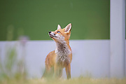 Fox cub keeping an eye on a Herring Gull which is dive bombing the fox