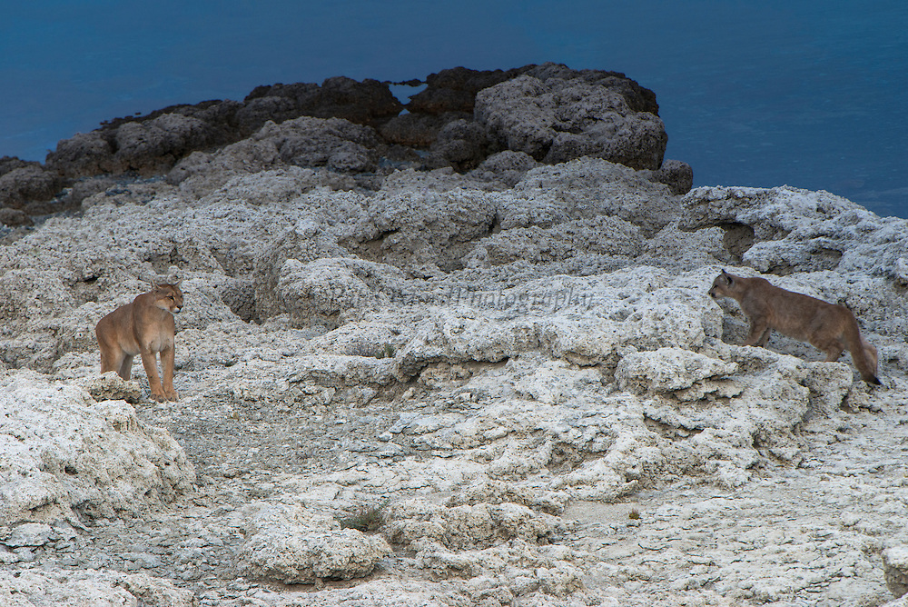 Puma (Felis concolor patagonica) female with 7 month old cubs<br /> Lago Sarmiento<br /> Torres del Paine National Park<br /> Patagonia<br /> Magellanic region of Southern Chile