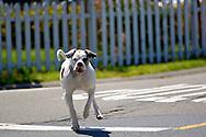Pit Bull Terrier dog running across street off leash, California