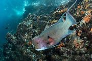 Streamer Hogfish (Bodianus diplotaenia)<br /> GALAPAGOS ISLANDS,<br /> Ecuador, South America