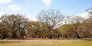 Ancient oak trees in historic deer park, Staverton, Suffolk, England