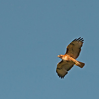 A Red-Tailed Hawk (Buteo jamaicensis) soars over Montana's Gallatin Valley.