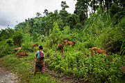 A female cow herder stands watching her cows grazing on 21st September 2018 in Umling, Ri Bhoi, Meghalaya, India.