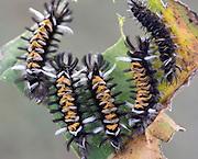 Five Milkweed Tussock Moth caterpillars on an  heart shaped eaten milkweed leaf
