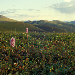 Pink Plume flowers,  Polygonum bistorta, bloom on the tundra in Alaska's White Mountains.   North of Fairbanks, near Circle Hot Springs, AK.
