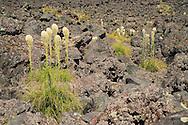 Beargrass (Xerophyllum tenax) growing along a trail through a lava flow at Mt St Helens, National Monument, WA, USA