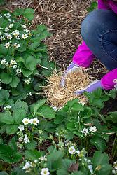 Mulching strawberry plants with straw