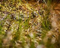 Kermit the Bullfrog. Image taken with a Nikon N1V3 camera and 70-300 mm VR lens (ISO 200, 300 mm, f/5.6, 1/640 sec).
