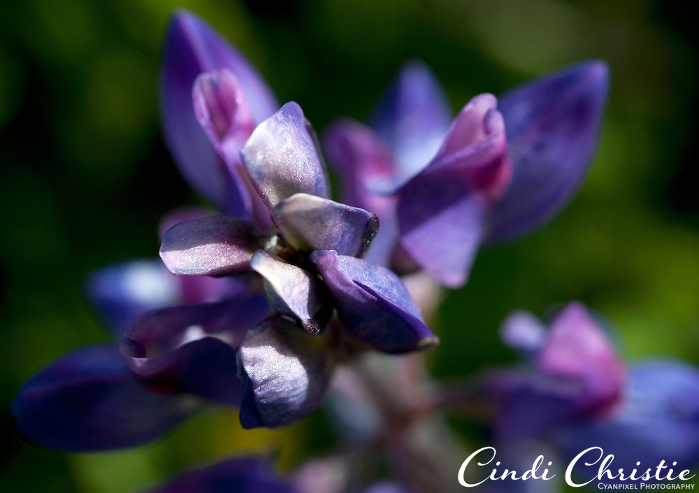 Lupine grows in Livermore, Calif., on Friday, March 26, 2010. (Cindi Christie).