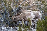 Endangered Desert Bighorn Rams in Habitat