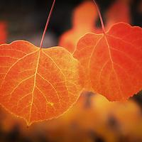 Close-up macro view of orange aspen leaves in autumn, Inyo County, California.