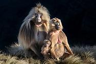 Eine Dschelada-Familie (Theropithecus gelada) beim Aufwärmen am Morgen, Simien Nationalpark, Debark, Region Amhara, Äthiopien / <br /> <br /> A Gelada family (Theropithecus gelada) warming up in the morning, Simien National Park, Debark, Amhara Region, Ethiopia