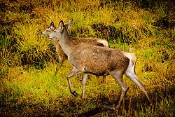 Young red deer hinds in Glen Etive, Highlands of Scotland<br /> <br /> (c) Andrew Wilson | Edinburgh Elite media