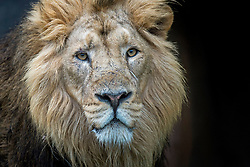Embargoed to 0001 Thursday August 10 An Asiatic lion at ZSL London Zoo which celebrates World Lion Day on August 10.
