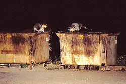 Raccoons In Trash At Night