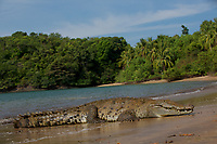 """American Crocodile (Crocodylus acutus) on a beach on Coiba Island.  <br /><br />This individula is wild, but apparently has a history of being fed by humans, so frequents a bay near the ranger station on Coiba.  He is locally know as """"Tito"""".  Appears to be approximately 4 M long.<br /><br />Coiba Island<br />Coiba National Park, Panama<br />Tropical Eastern Pacific Ocean"""