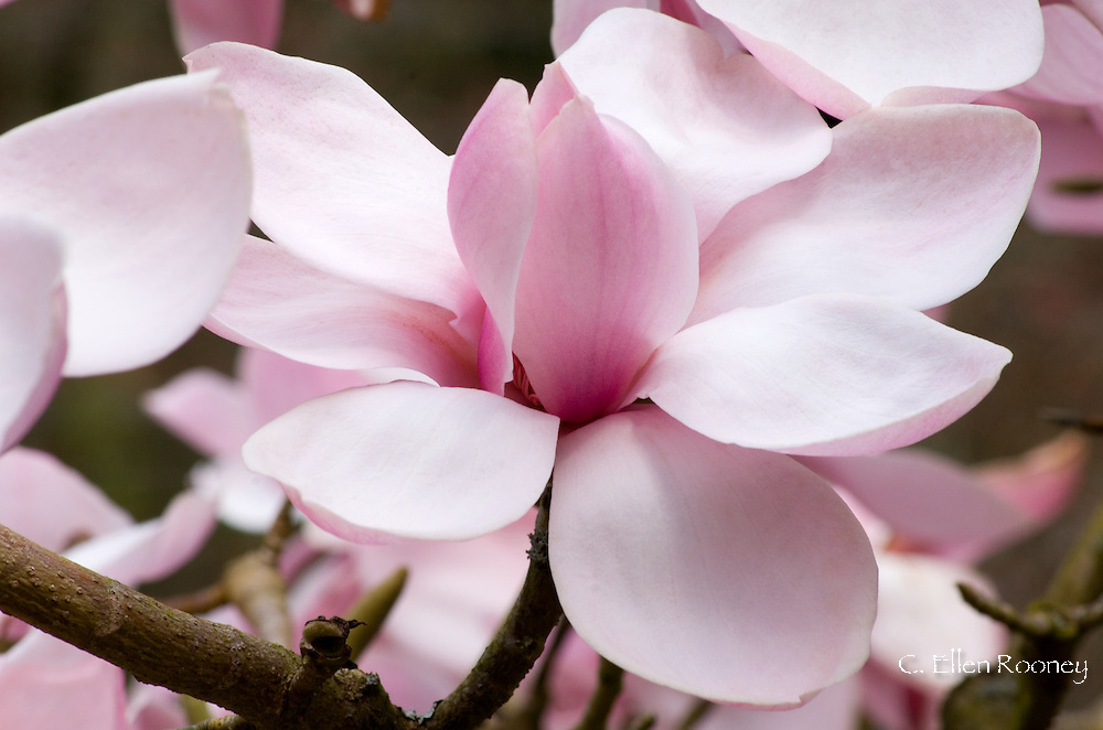 Magnolia 'Caerhays Belle' part of the National Magnolia Collection at Caerhays Castle, St. Austell, Cornwall UK
