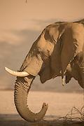 Profile of Desert Elephant, The Kaokoveld Desert, Kaokoland, Northern Namibia, Southern Africa