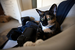 Zelda the cat lounges in the living room of her home in Oakland, Calif., Monday, May 25, 2020. (Photo by D. Ross Cameron)