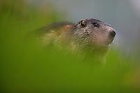 Alpine Marmot (Marmota marmota) portrait in grass. Hohe Tauern National Park, Carinthia, Austria