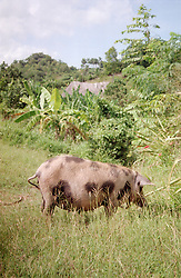 Large spotted pig in the countryside on a farm near Banes; Cuba,