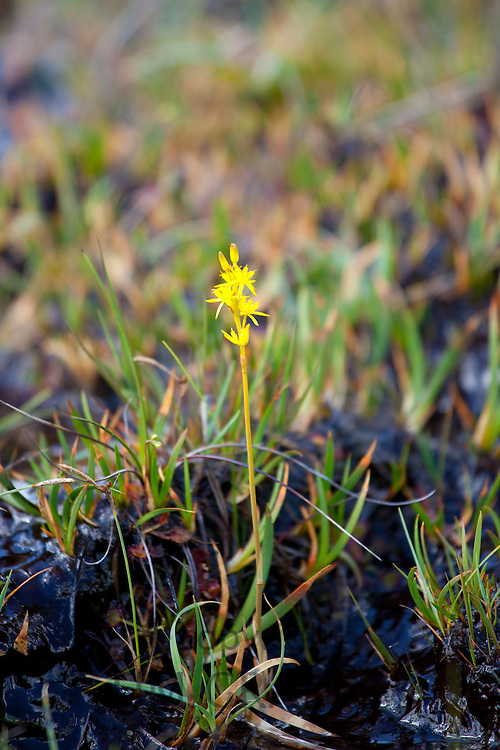 Bog Asphodel, Narthecium ossifragum,  on nature trail in lakeland countryside by Easedale in Lake District National Park, Cumbria, UK