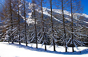 Coninfer trees at Klosters - Amongst the Silvretta group of the Swiss Alps.