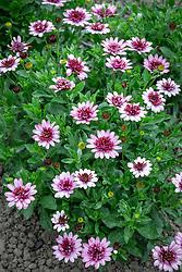 Osteospermum 'Berry White' - - African daisy