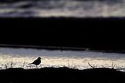 Killdeer on the shore of Lake Helena, Montana.