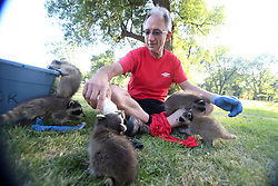 July 18, 2017 - Mississauga, ON, Canada - MISSISSAUGA, ON- JULY 18  - Ken Syrowy feeds formula to a litter of raccoons.   A Mississauga couple is nursing a litter of five baby raccoons after local animal sanctuaries say they would have to be euthanized. They have found a sanctuary that will take the litter, the Procyon Wildlfe Centre in Beeton, ON. The couple found the orphaned kits on Sunday and protected them.  at the Marie Curtis Park in Mississauga. July 18, 2017.  Steve Russell/Toronto Star (Credit Image: © Steve Russell/The Toronto Star via ZUMA Wire)