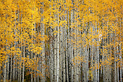 SHOT 9/28/12 6:55:38 PM - Aspen trees changing colors along Kebler Pass just outside of Crested Butte, Co. Populus tremuloides, the Quaking Aspen or Trembling Aspen, is a deciduous tree native to cooler areas of North America and is generally found at 5,000-12,000 feet. The name references the quaking or trembling of the leaves that occurs in even a slight breeze due to the flattened petioles. It propagates itself by both seed and root sprouts, and extensive clonal colonies are common. Each colony is its own clone, and all trees in the clone have identical characteristics and share a root structure. (Photo by Marc Piscotty / © 2012)