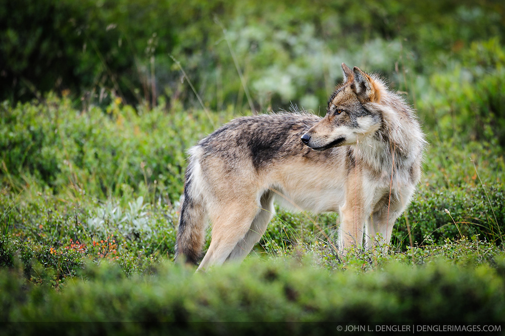 An adult member of the Grant Creek wolf pack looks at other adult members of the pack as the pack was traveling near Stony Creek in Denali National Park and Preserve in Alaska.<br /> <br /> The Grant Creek wolf pack of Denali National Park and Preserve has been described as one of the most visible and photographed group of wolves in the world as the pack's home range includes the park road that bisects much of the vast six million acre park.<br /> <br /> In May of 2012, The Los Angeles Times wrote about the deaths of the two primary breeding females of the pack. The death of one of these females was the result of being snared by a trapper just outside the park boundary. According to the story a trapper shot an aging horse near its death and used it as bait to lure and fatally snare the female radio-collared wolf and a male wolf. It is unknown if the male wolf was part of the Grant Creek wolf pack. The wolf kills were within a former no-wolf-killing zone that had been established by the Alaska Department of Fish and Game because the zone was surrounded on three sides by park land. In 2010, the regulation expired and the board of the department declined to retain the special area designation.<br /> <br /> What makes the loss of this female troubling to advocates of the no-wolf-kill zone is that the female wolf was believed to be the only remaining primary breeding female wolf in the Grant Creek pack. Earlier this spring, the only other primary breeding female of the pack was found dead of natural causes within park boundaries. In November of 2012 the Fairbanks News-Miner reported that researchers found that the Grant Creek Pack didn't produce pups in 2012, their den abandoned and the pack split up.<br /> <br /> For the entire park, the number of wolves counted was the lowest in 25 years, down from 143 in 2007 to 57 this year.