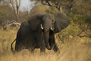 African Elephant (Loxodonta africana)<br /> Moremi Game Reserve, Okavango Delta<br /> BOTSWANA<br /> IUCN STATUS: Vulnerable