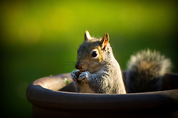Grey squirrel eating nuts while standing in a chimney pot (used as a plant pot), Leicester, England, United Kingdom.